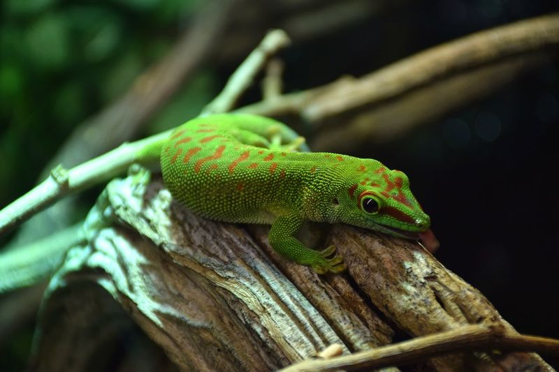green green green Lezard Lézards Lézard Vert Green Color Animal Wildlife Reptile No People One Animal Animals In The Wild Close-up Portrait Nature Animal Themes Beauty In Nature