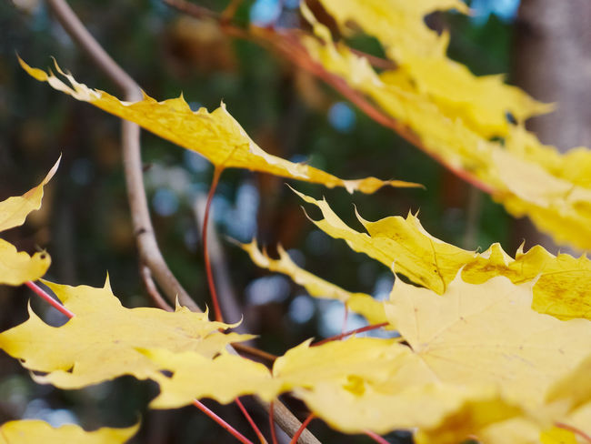 Yellow maple leaves on a tree Autumn Beauty In Nature Botanical Branch Change Close-up Day Details Focus On Foreground Foliage Fragility Growth Leaves Macro Maple Leaf Maple Tree Natural Condition Nature No People Outdoors Plant Plant Part Selective Focus Tree Yellow