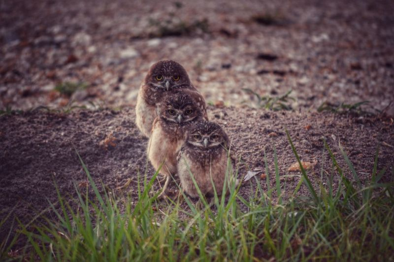 Burrowing Owls Outdoors Nature Three Animals Animal Themes The Great Outdoors - 2016 EyeEm Awards Showcase June
