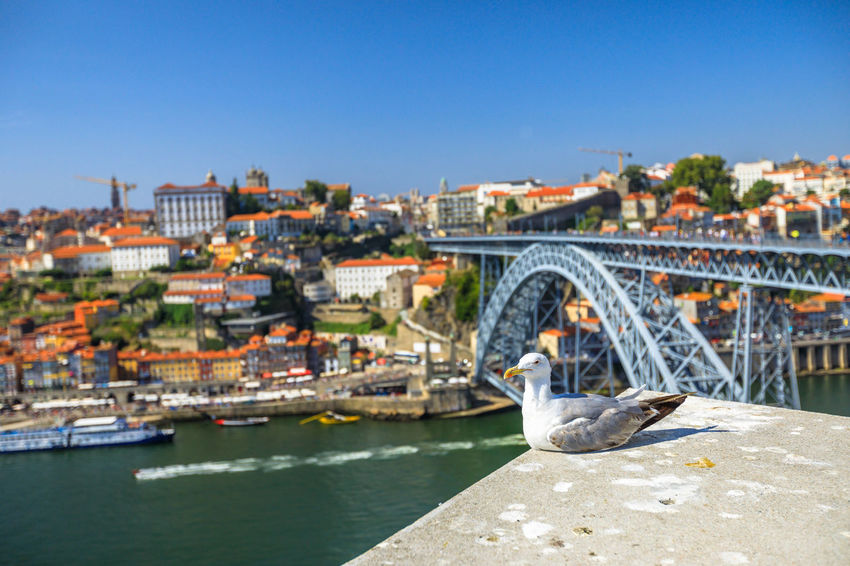 Seagull looking at the city of Porto skyline. Freedom and travel concept. Aerial view of iconic Dom Luis I Bridge on Douro River on the horizon with blurred background. Portugal Porto Tourism City Aerial View Cloudscape Cityscape Landscape Panorama Europe People Church Church Architecture Architecture Town Porto Portugal 🇵🇹 Monment Oporto City Oporto Downtown Oporto Streets Seagull Bridge River Sea Built Structure Water Bridge - Man Made Structure Building Exterior Connection Sky Transportation Nature Clear Sky Travel Destinations Day Travel No People Building Outdoors Arch Bridge