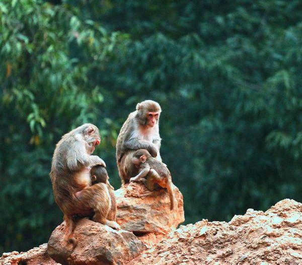 Monkey family on rock against trees