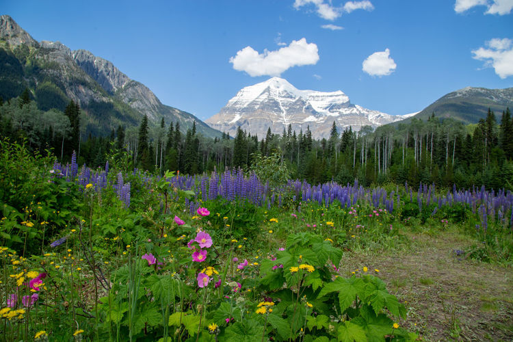 Purple flowering plants and mountains against sky