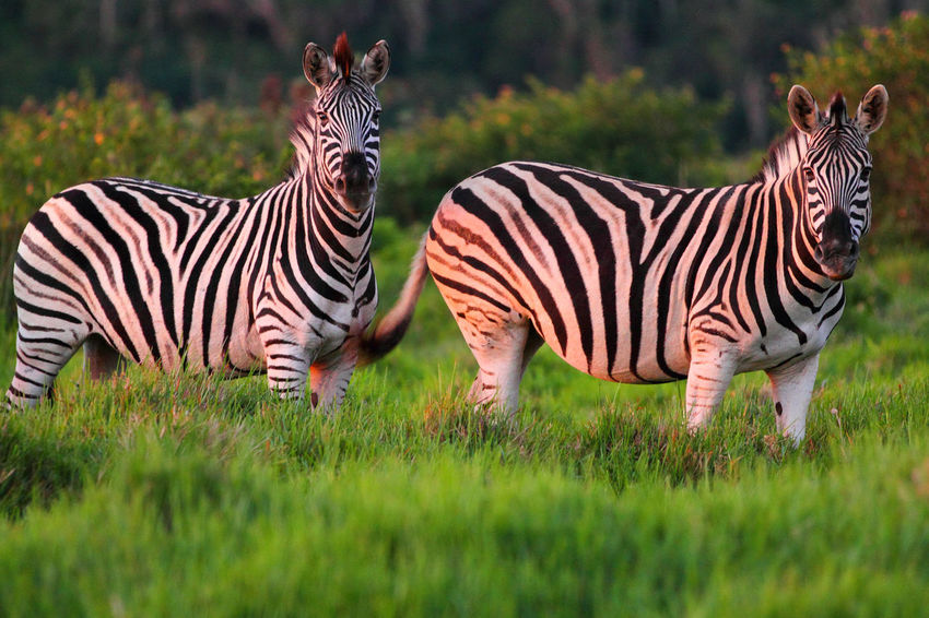 Animal Themes Animal Wildlife Animals In The Wild Day Field Game Reserve Grass Mammal Nature No People Outdoors Safari Striped Togetherness Zebra