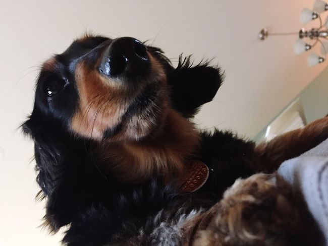 Pets Dog Close-up Weeniedog