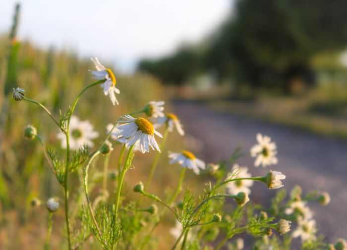 Countryside Daisy Sundown Dirt Road Flower Head EyeEm Selects Dirt Road Flower Flowering Plant Plant Freshness Beauty In Nature Nature Selective Focus Close-up