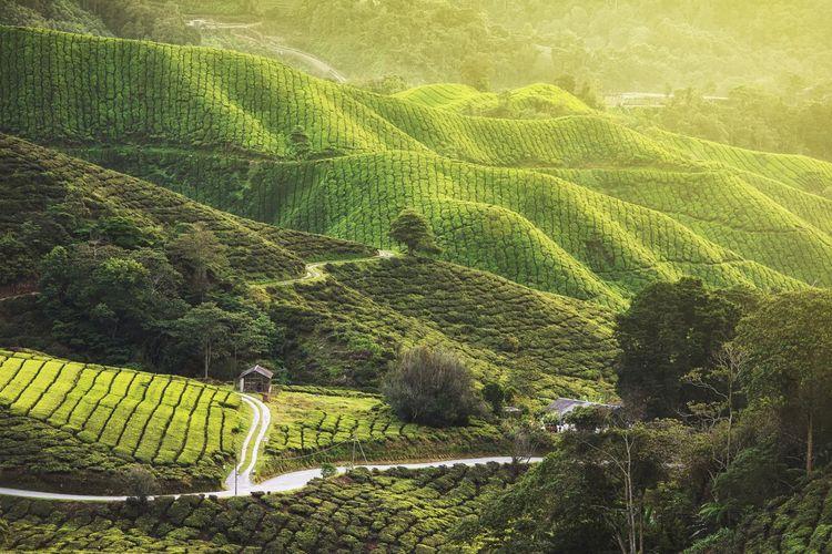 Tea plantation, cameron highlands malaysia