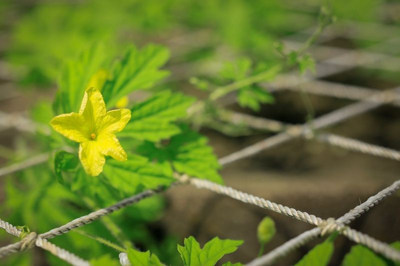 Green Color Plant Growth Nature Leaf Flower Focus On Foreground No People Fragility Beauty In Nature Day Outdoors Close-up Freshness Flower Head Balsam Pear