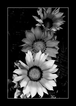 Beauty In Nature Black Background Blooming Blossom Botany Close-up Flower Flower Head Focus On Foreground Fragility Freshness Gazania Flower Gazanias Gazanias In Black And White Growth In Bloom Nature No People Petal Plant Pollen Selective Focus Softness Stamen Visual Creativity