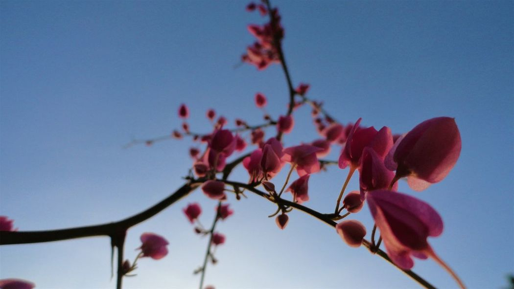 Nature Sky No People Beauty In Nature Outdoors Flower Popular Photos OpenEditRed EyeEm Best Shots EyeEm Gallery Macro Beauty Fragility Macro Photography Photo Photography Followme Follow Me On Instagram ♥ Low Angle View Close-up Pink Color Tree Plant Blossom Growth
