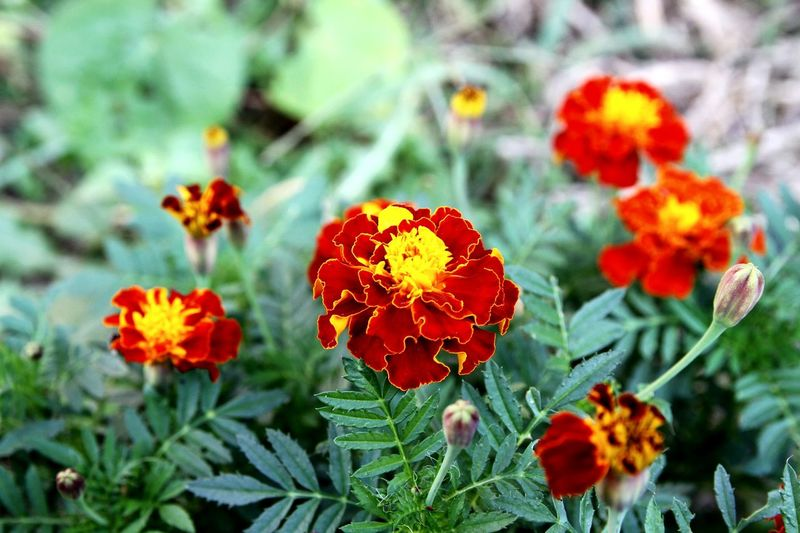 Plant Nature Flower Beauty In Nature Growth No People Focus On Foreground Close-up Day Outdoors Leaf Fragility Poppy Flower Head Freshness EyeEmNewHere Merigold Blooming Flowers Blooming Flowers Flower Photography EyeEm Selects Petal Lantana Camara