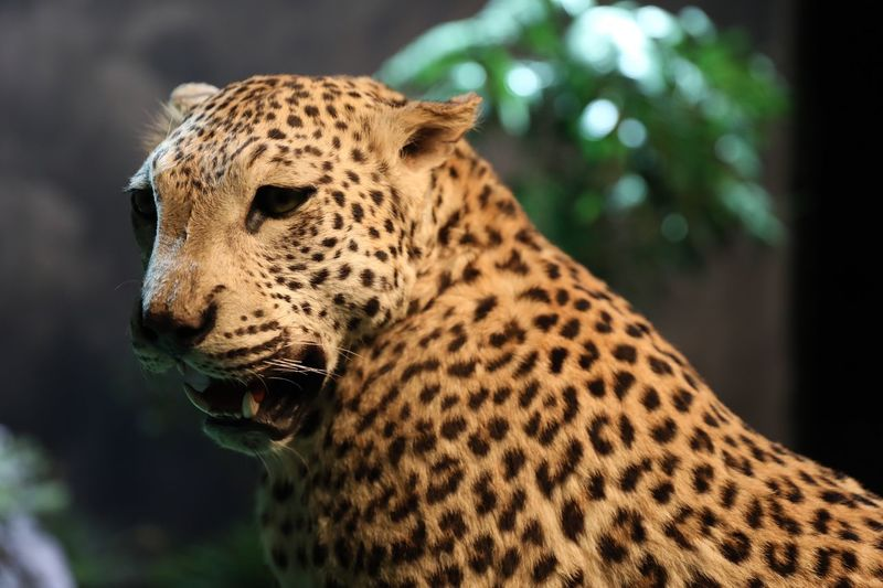 Close-up of dead leopard at zoo