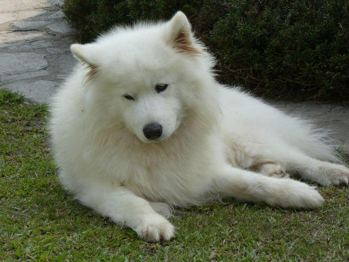 White dog lying on grass