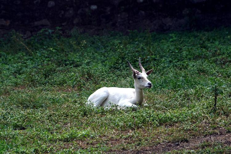 Mammal Animal Themes Animal Domestic Animals One Animal Land Plant Vertebrate Field Grass Nature Day Animal Wildlife No People Animals In The Wild Herbivorous White Buck Albino Blackbuck Antilope Cervicapra