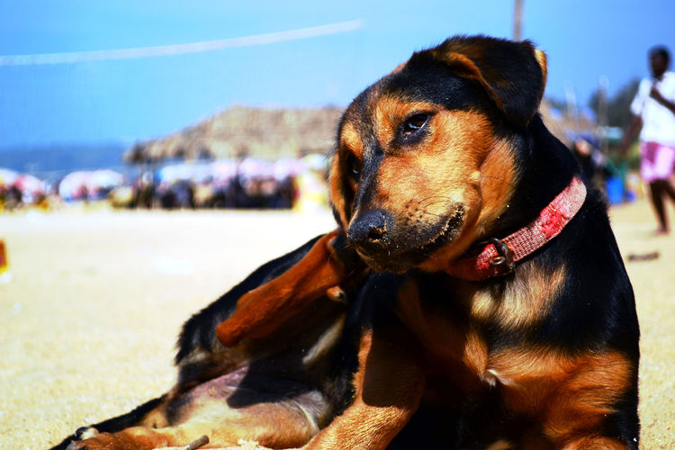 Animals Colorfull Dog Dogs Of EyeEm Dogstagram Dog❤ Goa Beach Poser ❤ Posers