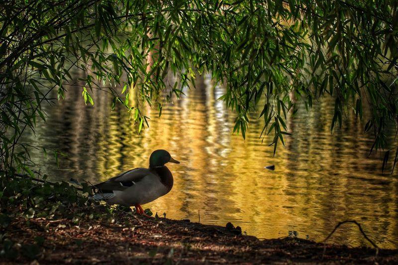 *Mittagspause im Park* Es träumt ein sanfter Mittag auf den Wiesen und schenkt dir eine Pause, Muße, Ruh', fernab vom Lärm den Frühling zu genießen. Am kühlen Teich schaust du den Enten zu. Sie stehen still, als hätt' zur Mittagsstunde sie wer hier aufgerufen und entrückt, im Sonnenlicht zu lauschen einer Kunde, zu sehen, was sie sonst noch nie erblickt. Auch du auf deiner Parkbank gönnst dir nun ein Innehalten unterm Baum im Schatten, bevor die Arbeit wieder ruft, zu ruh'n ein Weilchen fern von stressigem Ermatten. Und dich erquickt dies' Sammeln in der Stille, schenkt neue Kraft dir in des Frühlings Fülle. (© Ingrid Herta Drewing) A Walk In The Park Animal Themes Animal Wildlife Animals In The Wild Birds Of EyeEm  Birds🐦⛅ Duck Ducks At The Lake 43 Golden Moments Exceptional Photographs Eye4nature Eye4photography  EyeEm Nature Lover Ladyphotographerofthemonth Mittagspausenglück Nature Photography No People Outdoors Poetry Reflection_collection Reflections And Shadows Reflections In The Water Take A Break Untamed Heart Walking Around