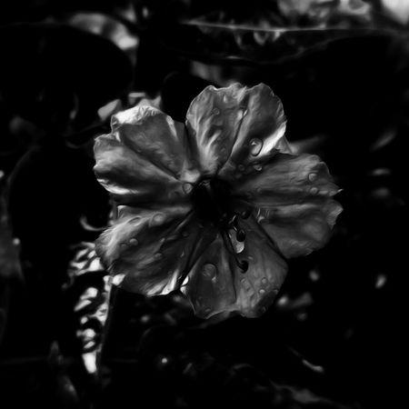 Flower Head Flower Petal Close-up Iris - Plant Blooming Botany Osteospermum Cosmos Flower Dew Plant Life In Bloom Hydrangea Single Flower Blossom Stamen Petunia Dahlia Fragility Pollen Hibiscus