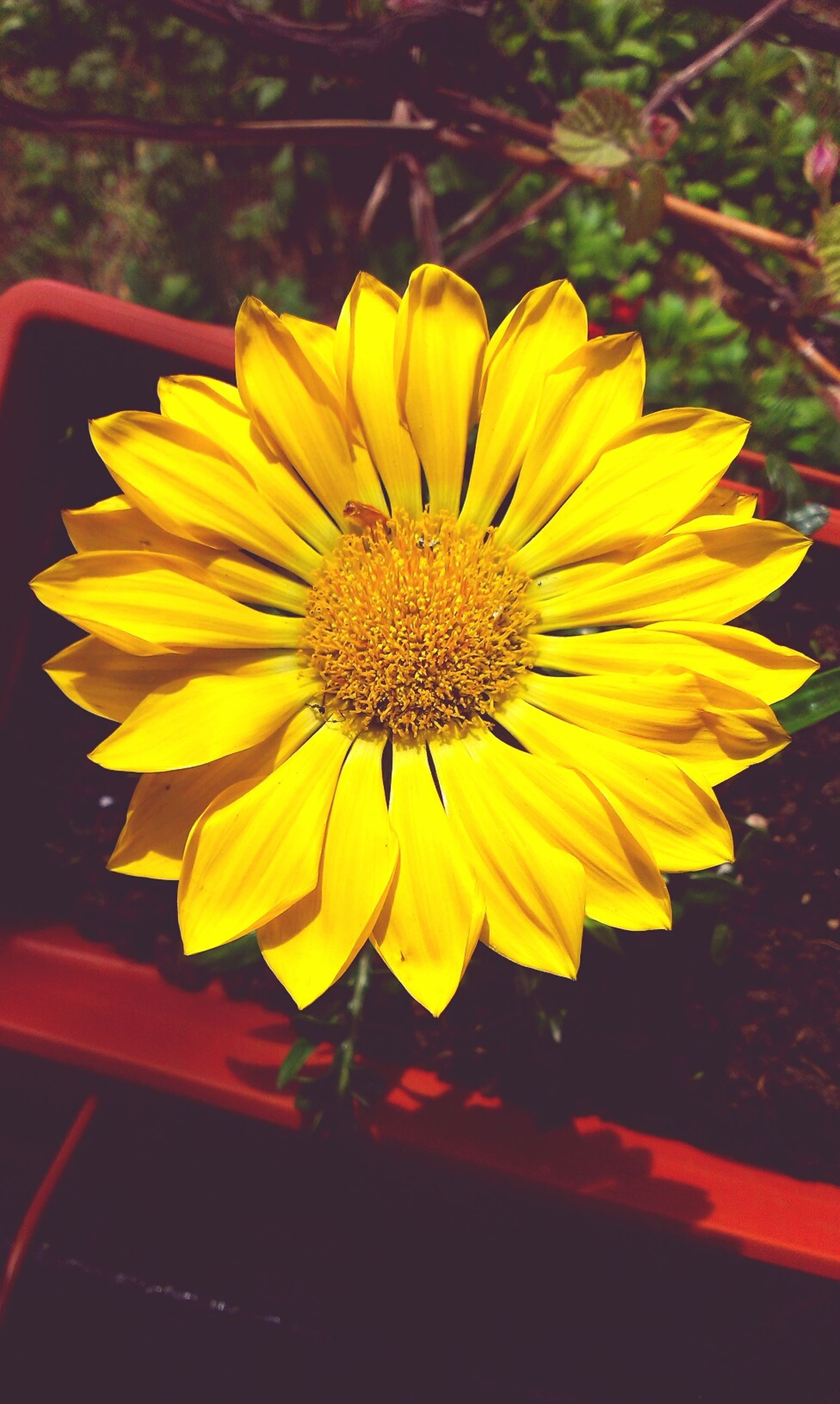 flower, yellow, petal, flower head, freshness, fragility, close-up, single flower, growth, pollen, beauty in nature, nature, focus on foreground, blooming, plant, sunflower, in bloom, outdoors, no people, day
