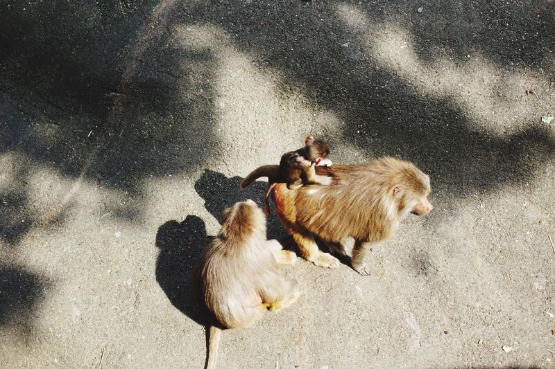 High angle view of monkey with infants on road