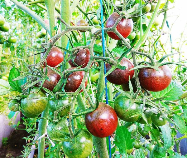 Tomatoes cherry Diet Dieting Tomato Tomato Plant Tomatoes Cherry Tomato Plant Summer Eating Out Eating Organic Summertime Green Color Food Agriculture Fruit Red Tree Backgrounds Full Frame Leaf Close-up Food And Drink