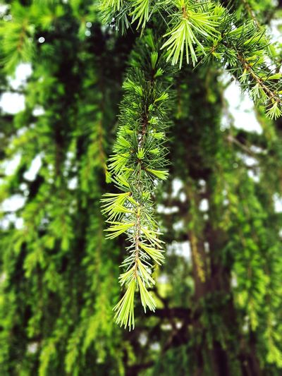 EyeEm Nature Lover Eyeemphotography EyeEm Trees Nature Photography EyeEm Best Shots Nature Tree Branch Fern Plant Part Leaf Pine Tree Pinaceae Close-up Plant Green Color Spruce Tree Needle Evergreen Tree Birch Tree