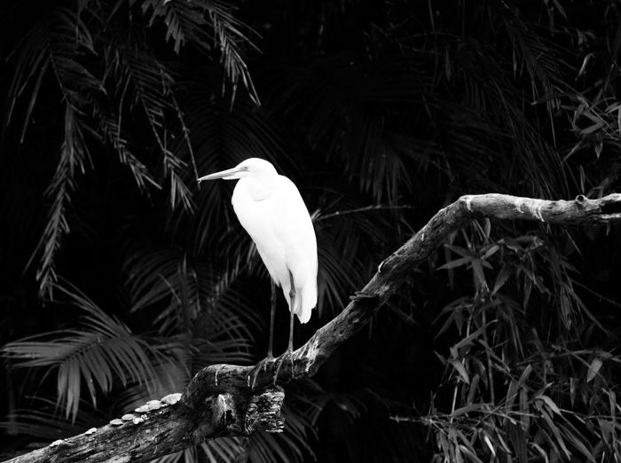 Black And White Friday One Animal Bird Animal Themes Animals In The Wild Animal Wildlife Nature Great Egret No People Beak Outdoors Day Perching Tree Close-up