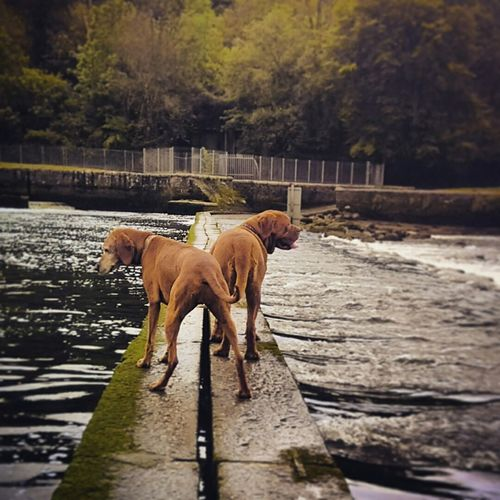 Dogs standing on bridge over river