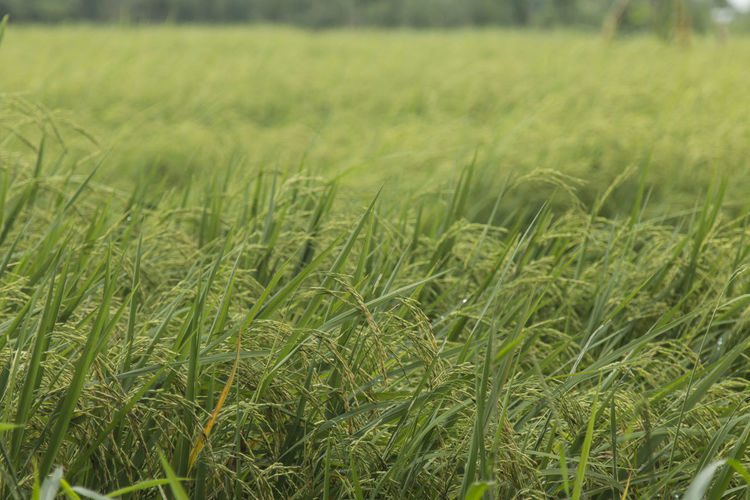 Rice plant in Thailand Nature Green Color No People Rice Paddy Outdoors Close-up Rice - Food Staple Food Riceplantation