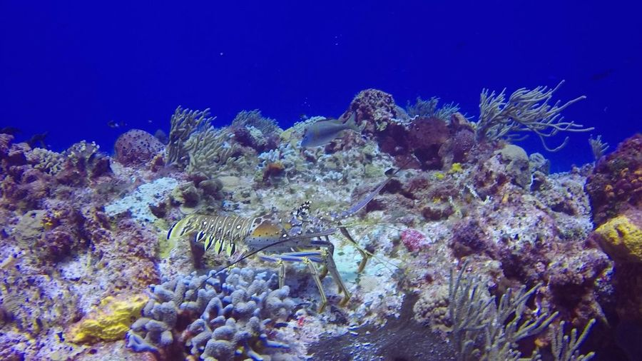Big lobster walking on the reef Cozumel Lobster Nature Animal Wildlife Animals In The Wild Coral Cozumelmexico Nature Reef Sea Sea Life UnderSea Underwater