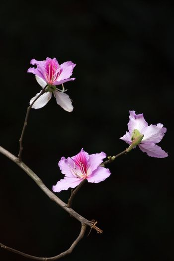 Flower Photography Flowers, Nature And Beauty Bauhinia Blossom Bauhinia Flower Head Pink Color Blossom Springtime Close-up Growth Tree Outdoors