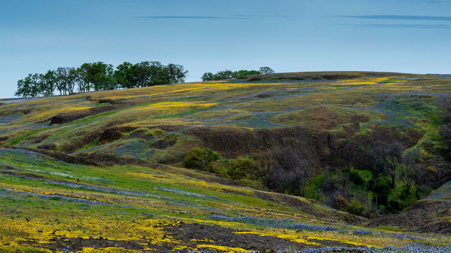 Landscape at North Table Mountain Ecological Preserve, Oroville, California, USA , on a sunny spring day, featuring oak trees, yellow and purple wildflowers, and volcanic rock formations North Table Mountain Ecological Preserve Oroville California USA Wildflowers Blooming Superbloom Yellow Purple Oak Trees Scenics - Nature Environment Tranquil Scene No People Beauty In Nature Growth Outdoors Field Idyllic Grass Non-urban Scene Land Green Color Day Nature Tree Landscape Tranquility Sky Plant