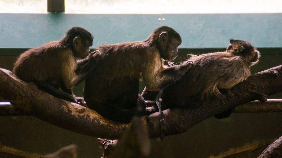 Animal Family Animals Bonding Capuchin Monkey Day Edinburgh Edinburgh Zoo Grooming Mammal Monkey Monkey House Nature No People Primate Scotland Three Animals Wildlife Window Young Animal Zoo
