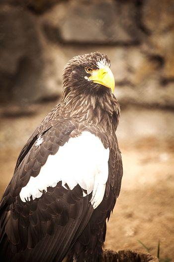 Stellers sea eagle in zoo