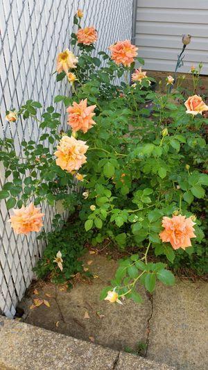 Beautiful Roses♥♡