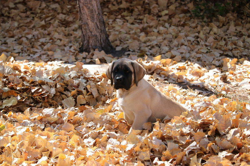 Dog Pets Animal Purebred Dog One Animal Mammal Outdoors Domestic Animals Animal Themes Day No People Nature Pets Corner English Mastiff Puppy Love Pet Photography  English Mastiff Puppy Fall Leaves High Angle View