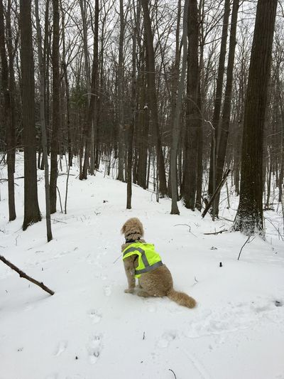 Dog Sits in Woods, Wears Neon Yellow Vest Dog Dog Looks Away From Camera Forest Goldendoodle Hunting Vest Nature Neon Yellow Snow Tree Winter Woods