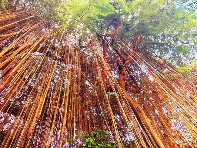 Root Of Banyan Tree Banyan Root Root Roots Roots Of Tree Root Of The Tree Root Of A Tree Tree View Low Angle View Tree Nature