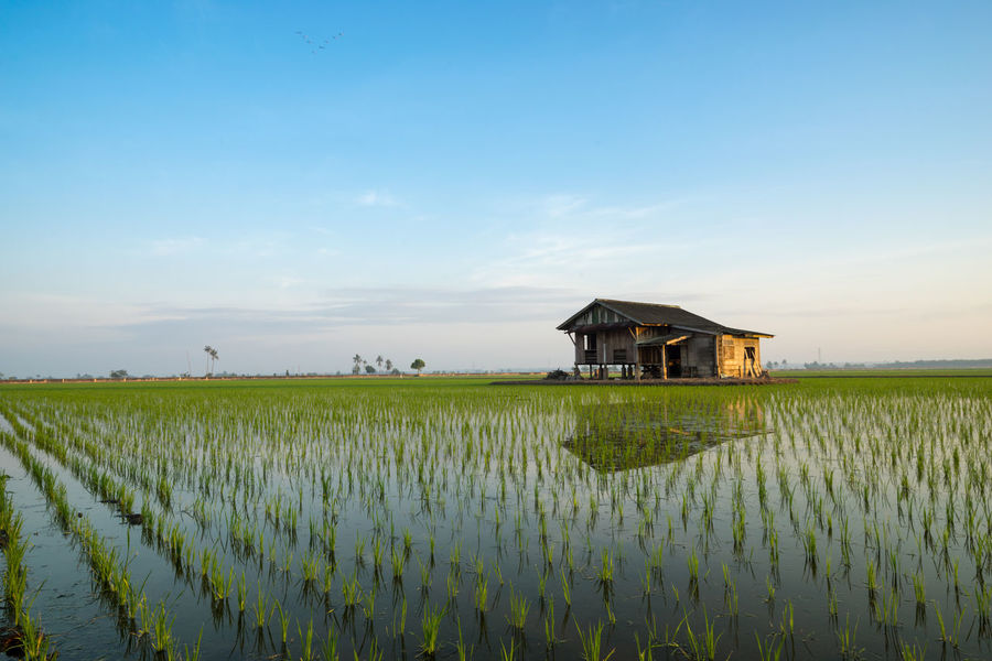 Abandoned wooden house in middle of paddy field with a sunrise sky in the background. Agriculture Architecture Beauty In Nature Blue Building Exterior Cloud - Sky Crop  Cultivated Land Day Farm Field Flower Freshness Green Color Growth Landscape Nature Outdoors Plant Rice Paddy Rural Scene Scenics Sky Tranquil Scene Tranquility