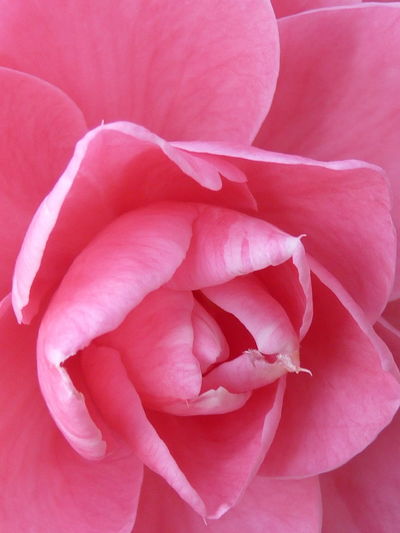 Camellia Camellia Backgrounds Beauty In Nature Camellia Flower Camellia Flowers Close-up Flower Flower Head Flowering Plant Fragility Freshness Full Frame Growth Inflorescence Nature No People Outdoors Petal Pink Color Plant Rosé Rose - Flower Softness Vulnerability