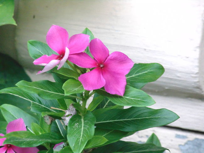 Beauty In Nature Blooming Close-up Day Flower Flower Head Fragility Freshness Growth Leaf Nature No People Outdoors Periwinkle Petal Pink Color Plant