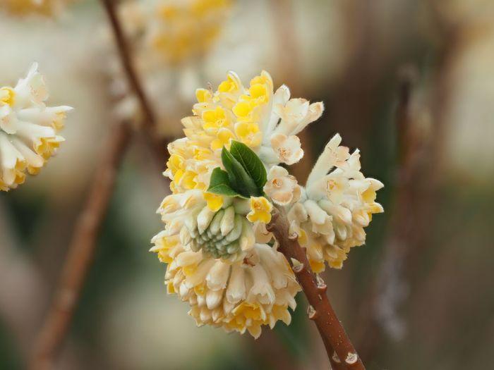 ミツマタ Oriental Paperbush Flower Plant Flowering Plant Vulnerability  Fragility Growth Beauty In Nature Focus On Foreground Close-up Flower Head Yellow