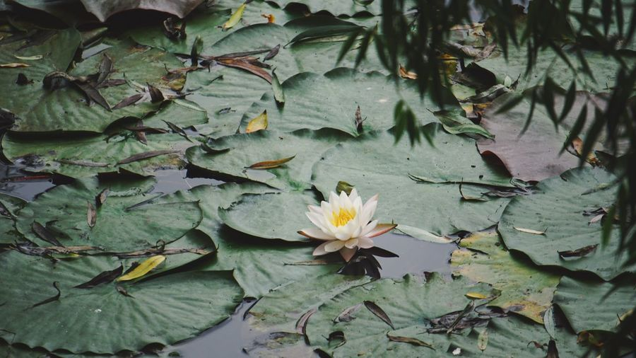 Plant Flower Beauty In Nature Green Color Growth Water Freshness Leaf Water Lily Lake