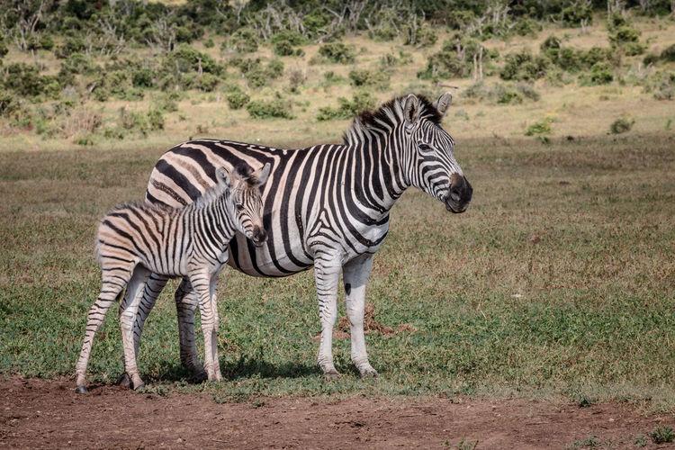 Zebra standing on grassland