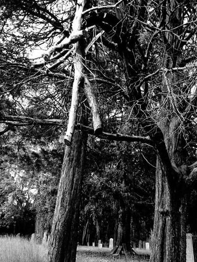 Tree Tree Trunk Nature Growth Tranquility Outdoors Branch Beauty In Nature Secluded  Quaker Cemetery Cemetery Cemetery_shots Blair Witch? Black&white Blackandwhitephotography Black And White Photography Blackandwhite Photography Black & White Blackandwhite