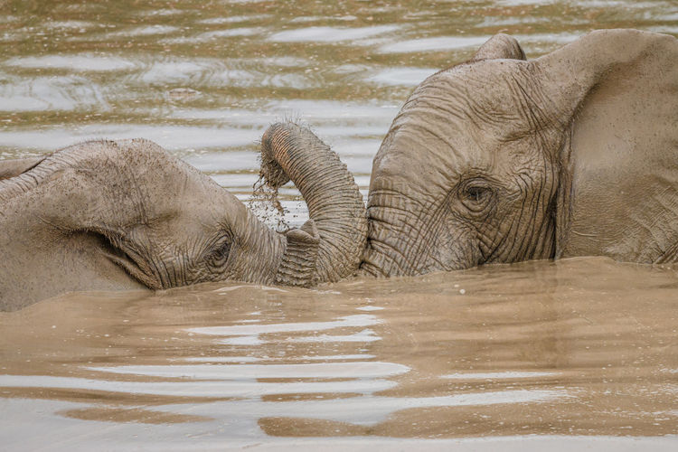 Close-up of elephant in lake