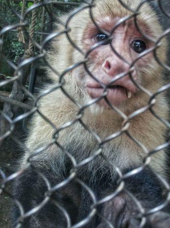 Animal Animal Photography Monkey Animals In Captivity Cage Zoo Sad Caged Caged Animals Caged Monkey Depressed Animal Rights Sad Monkey National Geographic EyeEm Best Shots - Nature Eyeem Best Shots - Animals