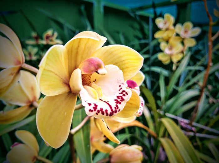 Close-up of yellow orchid