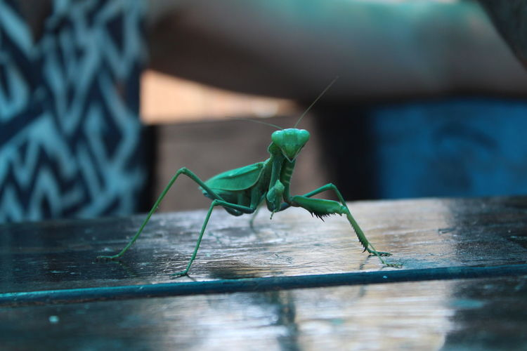 Green giant insect Grasshopper Insect Nature Animal Themes Antennae Close-up Day Grasshopper Green Color Insect Legs Mantis Pose Nature No People One Animal Table Wood - Material EyeEmNewHere
