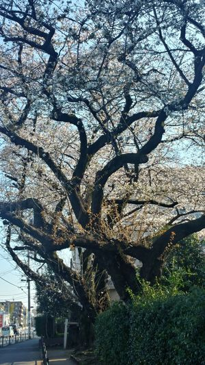 Architecture Beauty In Nature Blossom Branch Building Exterior Built Structure Cherry Blossom Cherry Tree Day Flower Flowering Plant Growth Nature No People Outdoors Plant Sky Springtime Tree Tree Trunk Trunk