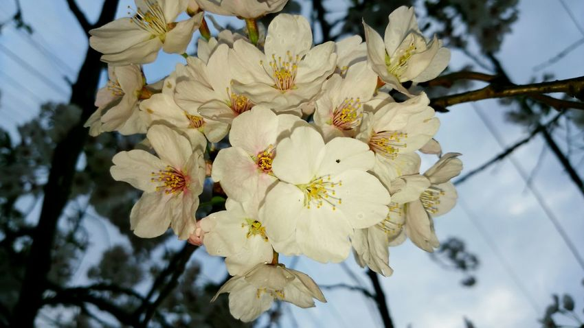 2015-4-4 Hello World Hanami Flowers Sakura Trees Charry Culture Of Japan Emotional Nature Railway Station Osaka Japan Ultimate Japan