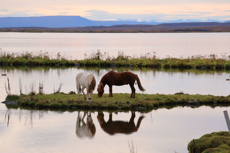 Horses in a lake